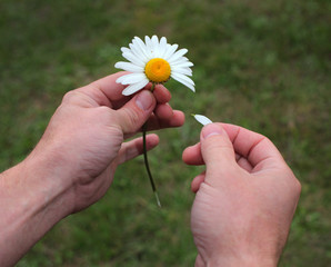 Daisy in male hands