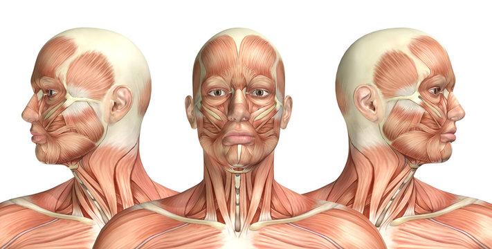3D male medical figure showing cervical rotation