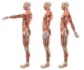 3D medical figure showing shoulder flexion, extension and hypere
