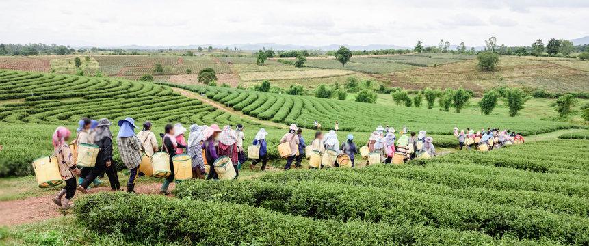 Crowd of tea picker picking tea leaf on plantation, Chiang Rai,