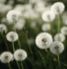 white dandelions on green grass