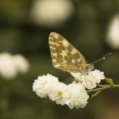 spotty butterfly on white flower close up