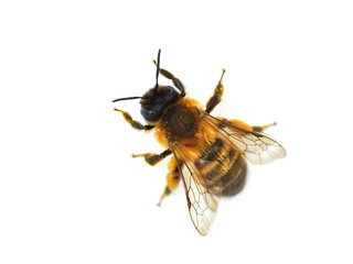 The wild bee Osmia bicornis red mason bee isolated on white