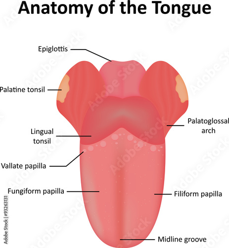"""Anatomy of the Tongue Labelled Diagram"" Stock image and ..."