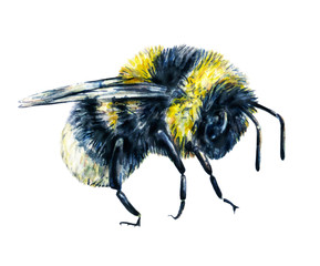 Bumblebee isolated on a white background. Watercolor drawing. Insects art. Handwork. Side view