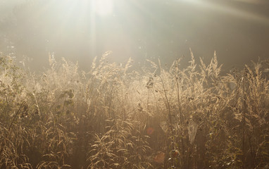 Obraz Golden grass - fototapety do salonu