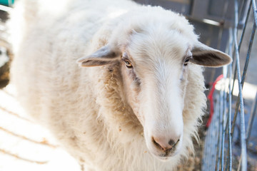 Close up of sheep face in county fair, Los Angeles, California