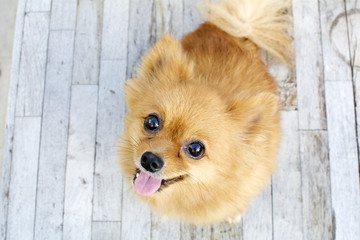 smiling brown Pomeranian dog sit on wood background