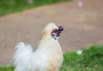 Silkie rooster