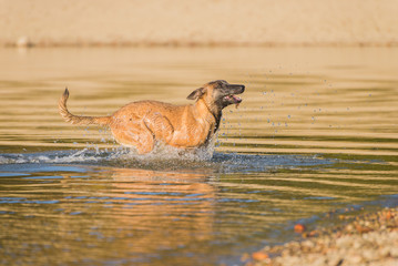 Malinois dog running in the lake water