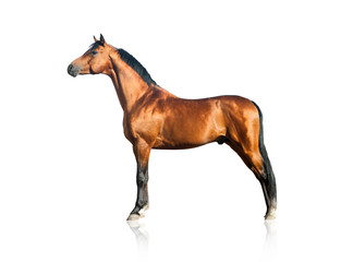 Purebred arabian stallion over a white background