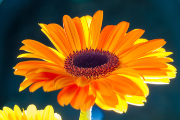 Cut orange gerbera in sunlight closeup