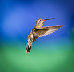 Broad Billed Hummingbird hovering against a deep blue background. These birds are found in central Mexico. This picture could be used as an art background. This is an older bird that has signs of age.