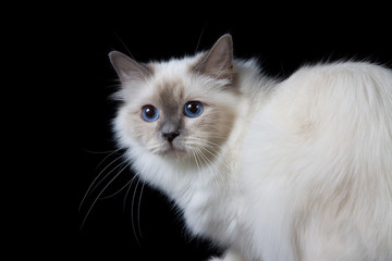 Gray white longhair cat with blue eyes