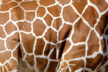 Wall Mural - Giraffe skin texture