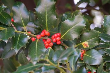 Ilex (Ilex aquifolium) mit roten Früchten