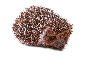 Cute young hedgehog - porcupine - isolated