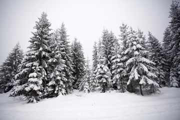 Foggy winter landscape with firs