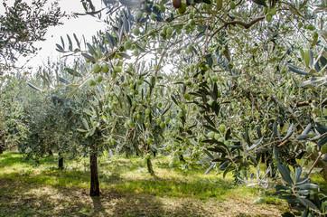Ulivo ed olive del mediterraneo, Italia e Grecia
