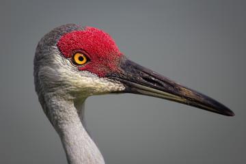 Bird, Sanhill Crane, Day, Florida, USA