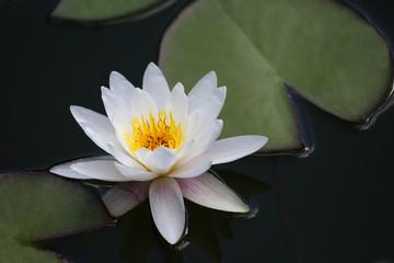 Printed roller blinds Lotus flower very juicy blooming Lotus in the pond close up