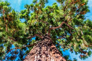 Séquoia géant à Pélussin
