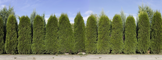 hedge from green  thuja trees Wall mural