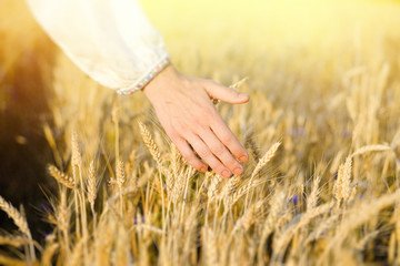 Hand touching barley stems on golden field