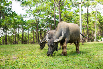 buffalo in natural field, Thailand