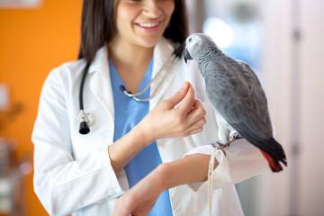 Veterinarian feeding African gray parrot