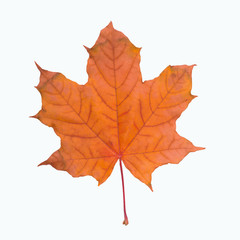 maple leaf red autumn