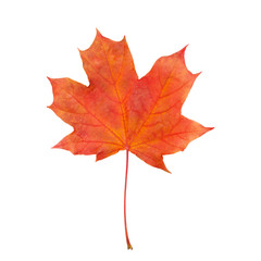 maple leaf red autumn