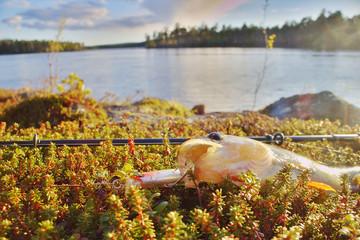 perch fishing Northern fish