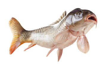 Swimming carp fish, bottom view isolated on white background