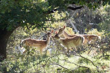 Three dear deers