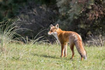 Fox looking left