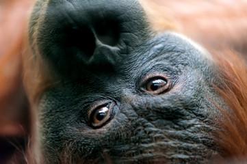 orangutan eyes close-up  (pongo at zoo)