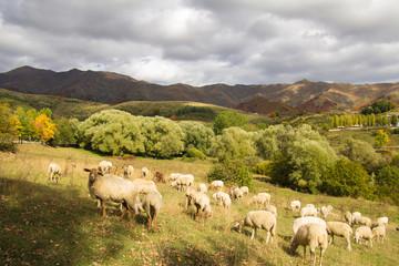 Pecore al pascolo nell'appennino abruzzese