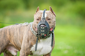 American staffordshire terrier dog wearing a muzzle Wall mural