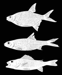 set of three white freshwater fishes on black