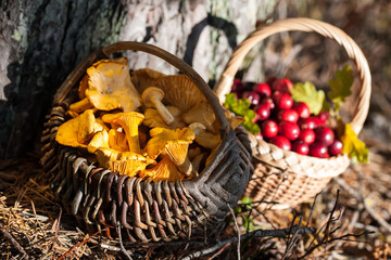 Baskets of red wild cranberries and chanterelles