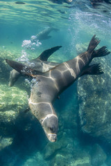 Adult California sea lions (Zalophus californianus) underwater at Los Islotes, Baja California Sur, Mexico, North America