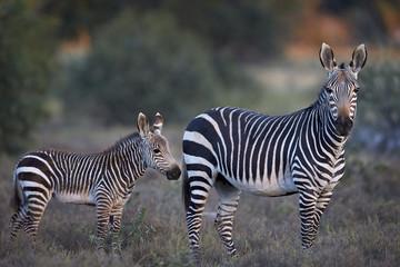 Cape Mountain Zebras (Equus zebra zebra), Mountain Zebra National Park