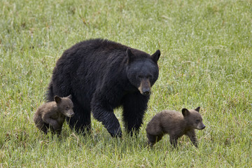 Black bear (Ursus americanus) sow and two chocolate cubs of the year or spring cubs, Yellowstone National Park, Wyoming, United States of America, North America