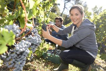 Closeup of young woman picking grape in vineyard Fototapete