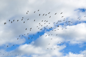 Flying birds flock. Barnacle goose in flight at autumn preparing to fly away.