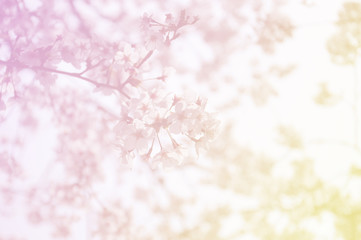 Soft focus of sakura flower on sweet color
