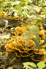 Yellow mushroom spontaneous growing in the forest