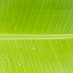 Detail of Banana leaf and textured