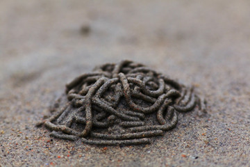 colony lobworm